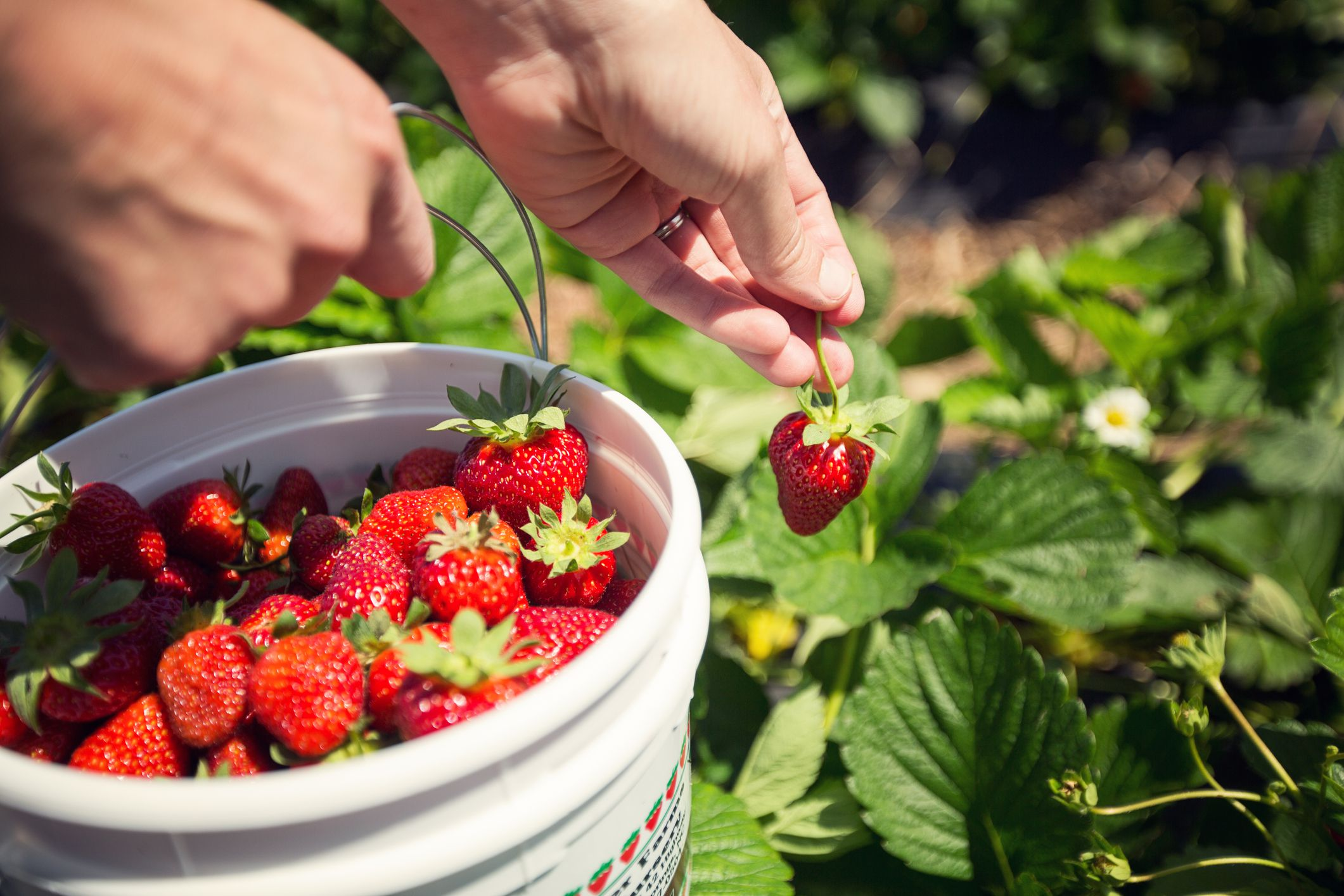 Pick Your Own Strawberries In The Pittsburgh Area