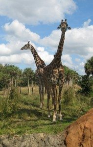 Giraffes at the Kilimanjaro Safari in Animal Kingdom