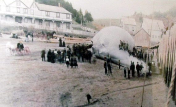 Beached  Blue or White Whale near Parrsboro back...way back...a long time ago!