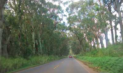 Driving on highway off of Highway 50 we passed under a long tunnel of Eucalyptus Trees that whizzed overhead like green rustling walls!