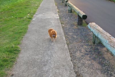 This little Hawaiian dog was a real cutie strolling by himself on the sidewalk near the Coconut Plantation!