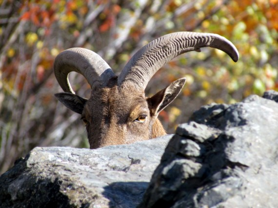 """The Barbary Sheep. A group of sheep climbed on the rocky pile in their large meadow, they liked to climb their """"mountain"""" and perch on the craggy rocks with the sun warming the rocks. Barbary sheep, also called aoudads, originated in the hills of the Sahara and have inhabited all the major mountains of North Africa. In the late 1800s, Barbary sheep were introduced into Europe, including Germany and Italy. Around 1900, the first Barbary sheep was transferred to the United States to be placed in zoos. Surplus zoo stock was sold to private parties who eventually released some to the wild in New Mexico in 1950 and in Texas in 1957. This allowed a wild population to develop in the southwestern United States. They live up to 15 years."""