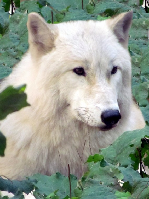 What a beautiful creature! Sitting in the grass surrounded by leaves she was so lovely enjoying the October sunshine! The Arctic Wolf natural range is Eurasia & northern North America, their habitat is the tundra & forests. They live from 10 – 18 years.