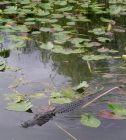 Gator Emerging From The Plants