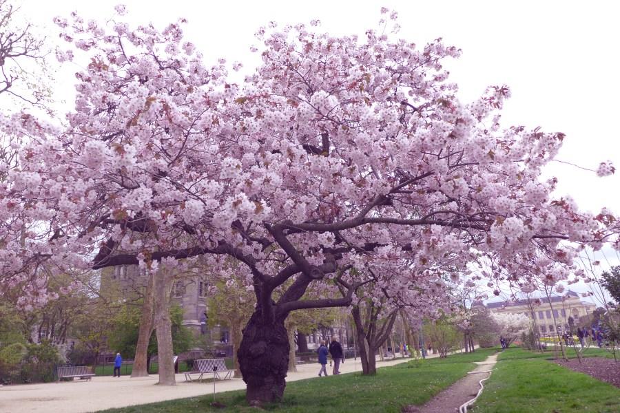 Mantelipuiden kukkiminen on kevään enimmäinen merkki Pariisissa. © Tripsteri / Anneli Airaksinen