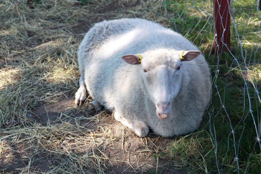 Kesällä 2017 Kenkäverossa voi tervehtiä myös lampaita.