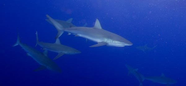 Galapagos sharks off the North shore of Oahu