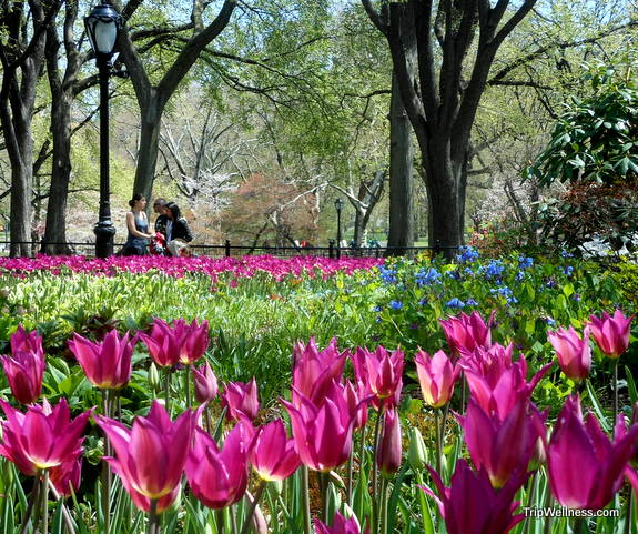 Central Park tulips, trip wellness, walking tours in new york