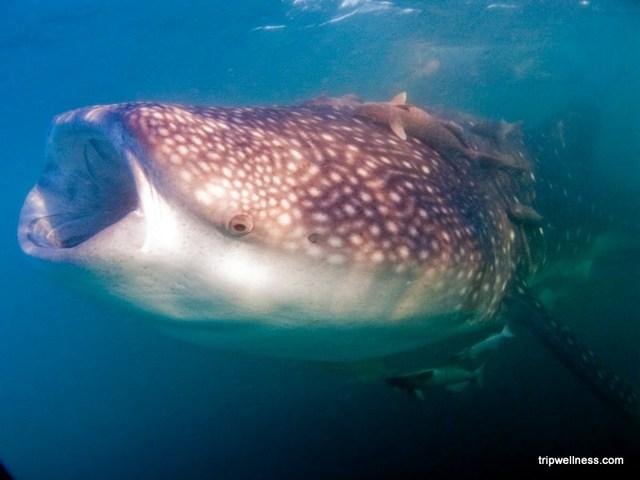 Whale shark feeding.