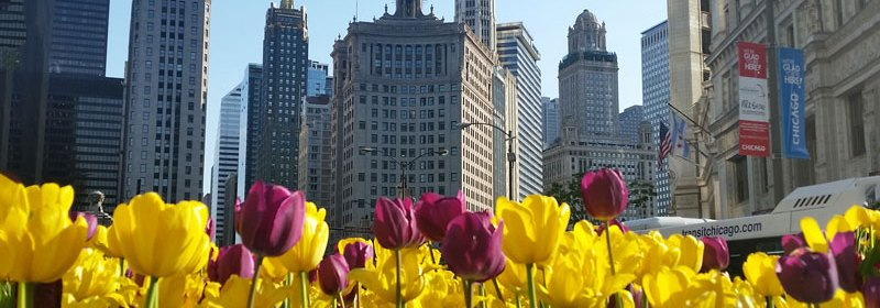 Downtown Chicago Tulips spied before a historic pub crawl