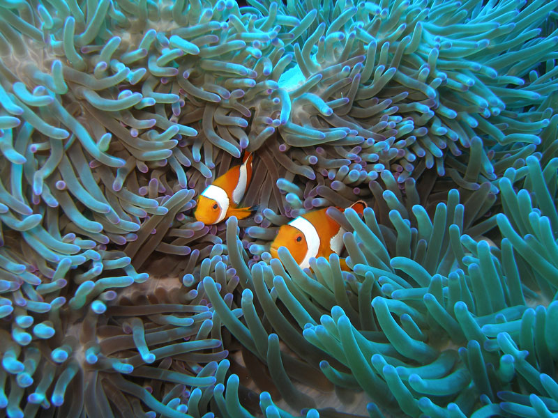 Nemo look alikes in the UNESCO World Heritage site, Tubbatha Reef