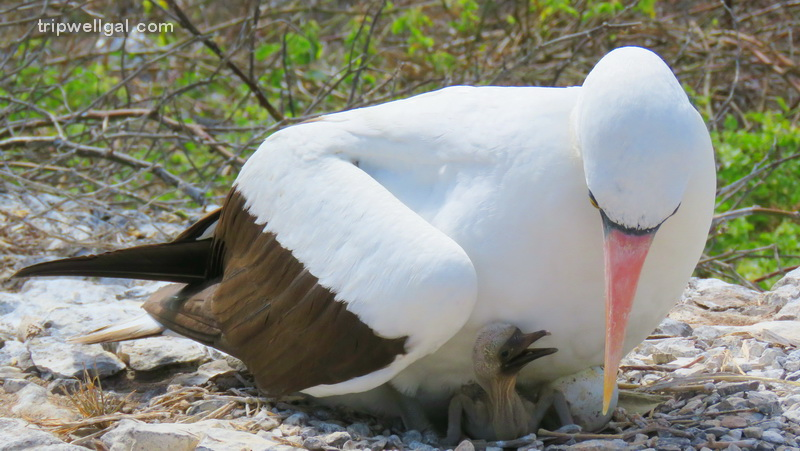 Nasca Booby with baby in the Galapagos Islands
