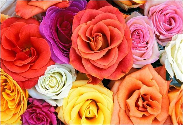 love_blooms_roses