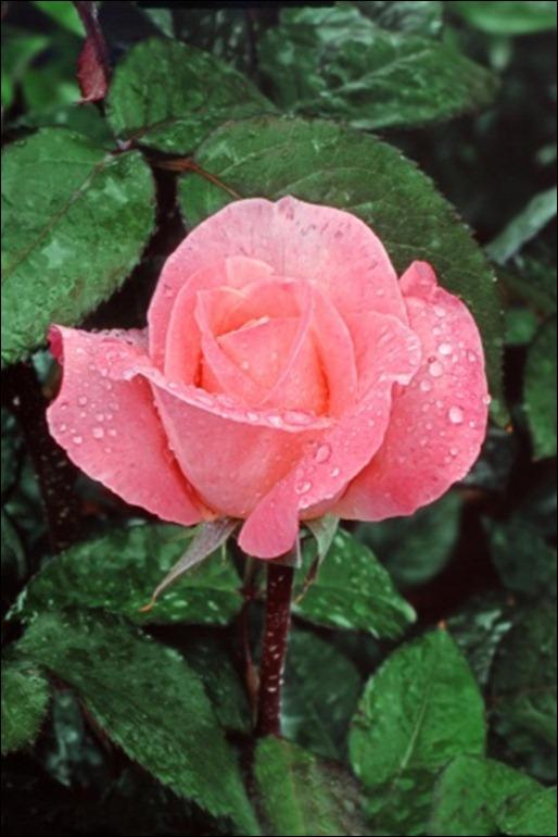 lovely_rose