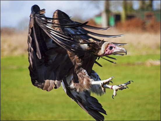 a-vulture-coming-in-to-land