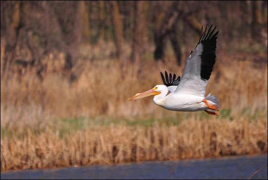 pelican-in-flight
