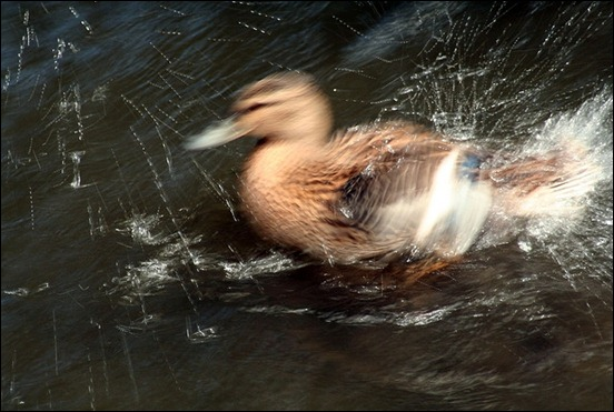 splashy-duck