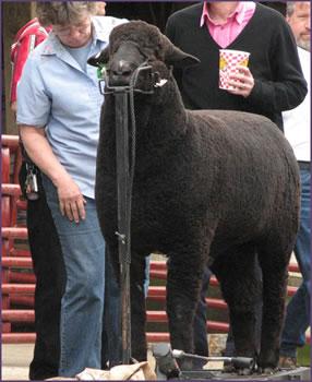 One BIG black sheep