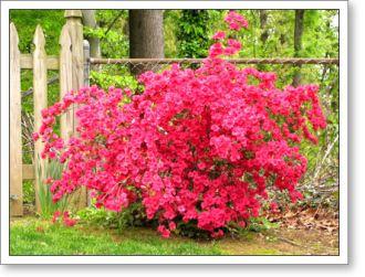 hot pink azaleas in the backyard