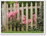pink azaleas behind the back fence