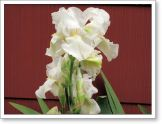 another white iris