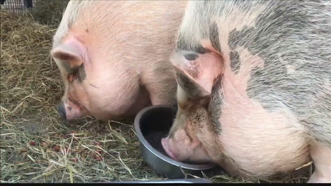 Too Many Pigs at Henderson Co. Humane Society
