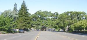 Danville's Oak Tree