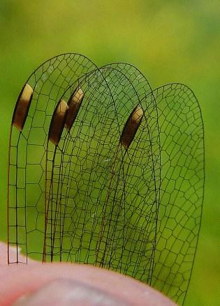 Tvåfärgade vingmärken. Foto: Magnus Billqvist / Trollsländeföreningen.