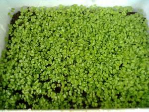 Rau mầm trồng trong khay xốp