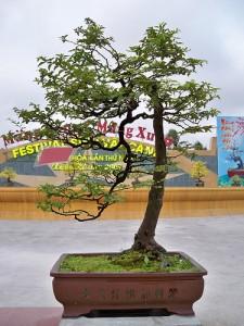 Cây thực hiện cành rơi ở festival Thanh Hoá