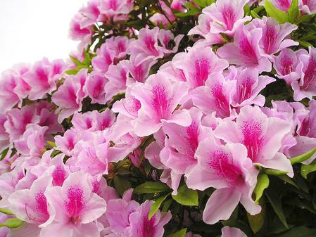 trồng và chăm sóc hoa Đỗ quyên