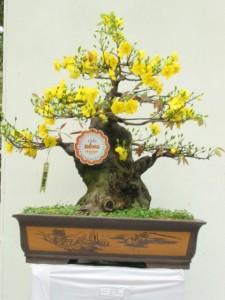 Bonsai Mai vàng