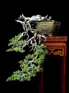 Xảo thuật trồng ngược, lấy rễ làm thân tạo dáng thác đổ trong tạo tác Bonsai