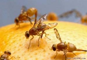 Ruồi đục trái- tác nhân gây bệnh hại trên cây mít