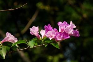 Tên khoa học Pachyptera hymenaea (DC.) A. Genty (Bignonia floribunda Hort.)