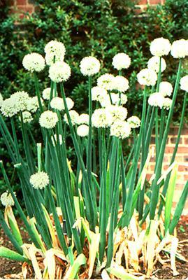 Hành tây có tên khoa là Allium cepa L.