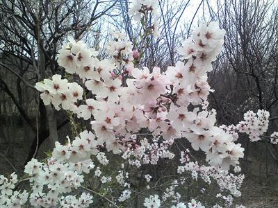 Mai có sức sống và sự trổ hoa thật kỳ diệu