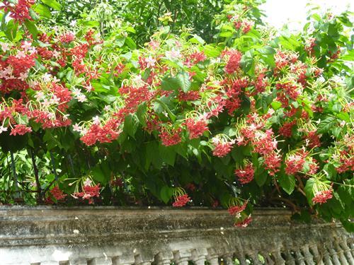 Từng chùm hoa sử quân tử làm cho tường rào nhuộm màu thời gian của ngôi biệt thự cổ bên trong thêm phần cuốn hút