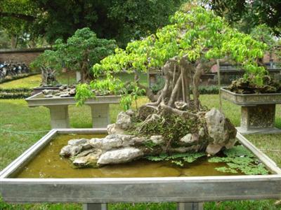 Sanh bonsai, khi uốn tỉa cây Sanh không nên lặt hết lá