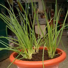 Hành lá trồng chậu-hình ảnh quen thuộc trên sân thương gia đình