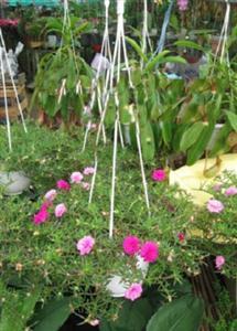 Mười giờ trồng trong chậu treo - giải pháp tạo không gian xanh trên cao