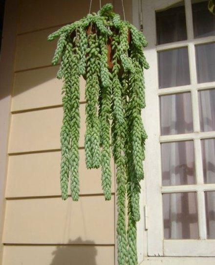 Thềm nhà xanh mát với chậu treo Chuỗi ngọc - Tràng ngọc thạch