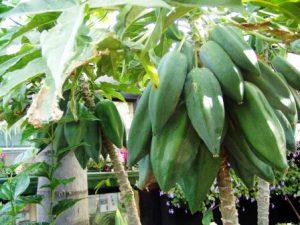 Babaco giàu sinh tố C,trái không có hạt và có thể ăn luôn cả vỏ