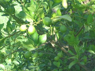 một trong những nguyên nhân làm cây chanh rụng quả non là do thiếu dinh dưỡng