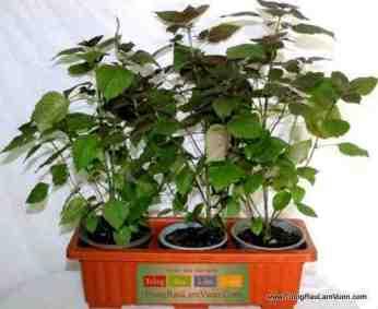Rau thơm- tía tô 3 cây đặt trong khay thông minh