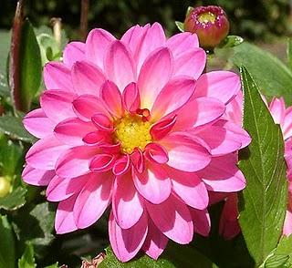 Hoa Thược dược- hạt giống phải được cất trong cát