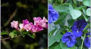 Sắc hoa Đậu biếc và Ánh hồng