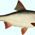 fishing – Roach_lg