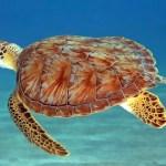 Caribbean turtle