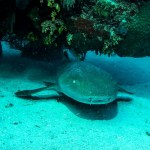 Diving in Cuba nurse shark